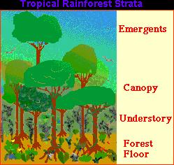 Layers    of the Rainforest      Diana Pyatigorsky